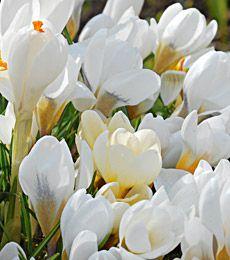 Crocus in yellow shades mixture white flower farm flower farm and white crocuses from white flower farm mightylinksfo Gallery