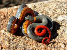 Diadophis punctatus - Ringnecked Snake -- Sighted: New York, Florida