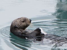 Sea Otter in Seward, Alaska