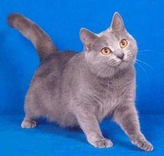 Gato Raza Cartujo o Gato Chartreux.