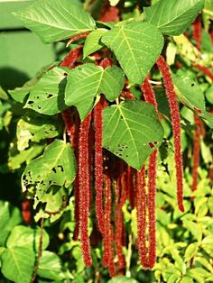 Tropical Looking Flowers And Plants | Tropical Chenille Plant, Flowering Plat Identification, Acalypha ...