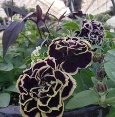 Midnight Gold Double Petunia Rose Bush, Home Landscaping, Petunias, Garden Art, Garden Ideas, Mother Earth, The Great Outdoors, Container Gardening, Outdoor Gardens