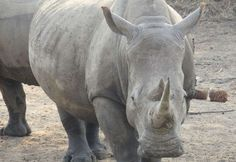 South Africa - Rhino Conservation Project - The Conservation Project is committed to notching and inserting microchips into Greater Kruger National Park's White Rhino population. South Africa Holidays, Kruger National Park, Great White Shark, Group Tours, Africa Travel, Conservation, Lions, Ranger, Wildlife