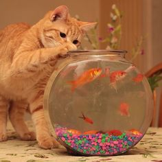 Kitty cats on my mind today. #cat #kitty #orange #ginger #redhead #kittycat #catlover #mischief #goldfish #goldfishbowl #catandfish #cute #funny #troublemaker #trouble #orangecat