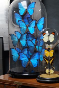 Butterflies under original Victorian glass domes.