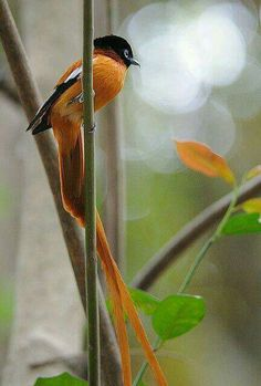 Red-bellied Paradise Flycatcher.