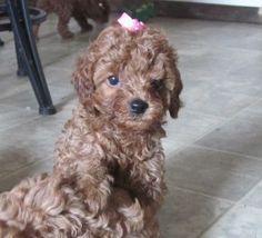 Cutest #cockapoo puppy that looks like a teddy bear!