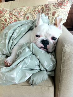 """., can I call in sick today?', French Bulldog"