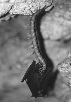 Venezuelan giant centipede, Scolopendra gigantea (Myriapoda)