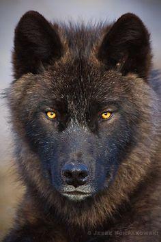 Canadian Wolf by ~Schpakowski