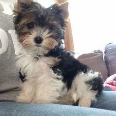 Layla - Biewer Terrier so cute