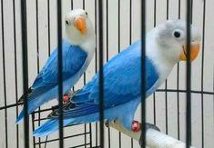 16 Ide Lovebird Agapornis Burung Makanan Burung Biola