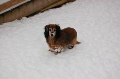 Blind dachshund Sophie is up for adoption at Rolling Dog Farm in NH. #dogs #rescue #NH