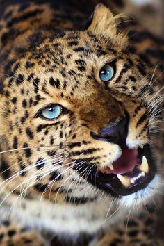 Pin by Butterflyvamp on safari animals Safari Animals, Animals And Pets, Cute Animals, Beautiful Cats, Animals Beautiful, Jaguar, Lion Photography, Gato Grande, Wild Creatures