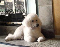Miniature Poodle ~ Toby