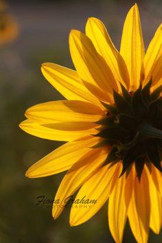You are my Sunshine  Sunflower