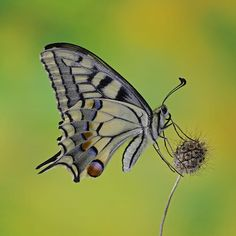 machaon... by ivo pandoli on 500px