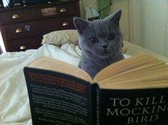 A cat reading TO KILL A MOCKINGBIRD.