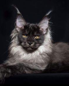Black Smoke Maine Coon Cat