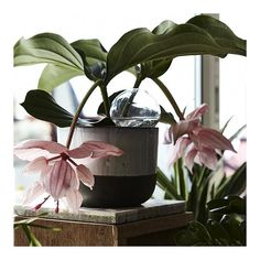 On the wishlist 👉🏼 this amazing Medinilla! 🌸 If you know where to find one (preferably in Oslo) please let us know! @lanzenidaa • • • • @frkfloodblomster @minamilanda @gronnlilleaker @finnschjollrosenkrantz  #medinilla #plants #flowers #home #interior #blomster #planter #oslo #flowershop #urbanjungle #feature #inspiration #antideco