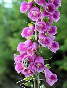foxglove + bee