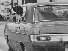 This Saint Bernard enjoys a little fresh, but still nippy, air while riding in the car in 1975.
