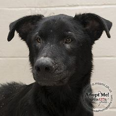 Urgent! I am at a full, high kill shelter in Troy, OH - Shepherd (Unknown Type) Mix. Meet Moe, a dog for adoption. http://www.adoptapet.com/pet/16057527-troy-ohio-shepherd-unknown-type-mix