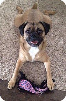 Calgary, AB - Boxer/Pug Mix. Meet Frankie, a dog for adoption. http://www.adoptapet.com/pet/12218958-calgary-alberta-boxer-mix