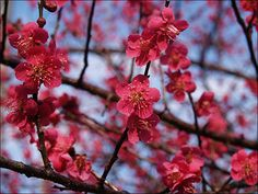 Japanese Plum Blossoms Herald the Coming of Spring « Samurai Dave: The Roving Ronin Report