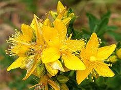 St. John's Wort – Spiritual– Health, Power, Protection, Strength, Love, Divination, Happiness. Burnt it will banish evil and negativity. Wearing the herb aids you in war and other battles. Medicinal- St. John's Wort is used internally for anxiety, mild to moderate depression, nervous tension, insomnia, menopausal disturbances, premenstrual syndrome, shingles, sciatica and fibrositis. It is also used to treat inflammation of the stomach and intestines and against internal worms