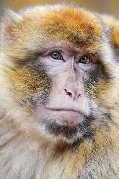 Portrait of a macaque - (CC) Emmanuel Keller (Tambako the Jaguar) - www.flickr.com/photos/tambako/2692870785/in/set-72157613006032487/