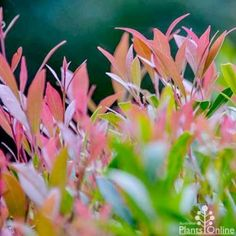 Plants for Foliage Colour Year Round Australian Plants Online Purple Fruit, Dark Purple Flowers, Orange Flowers, Summer Flowers, Australian Native Garden, Australian Plants, Street Trees, New Roots, How To Attract Birds