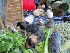 Our Current Cavy Set Up (2014 to now)       We moved house, and suddenly acquired much, much more grass! So to make the most of the yumm...