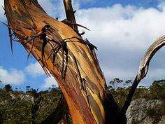 Featured Art - Mountain Eucalyptus  by Sarah  King