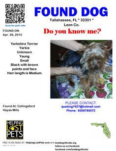 Found Dog - Yorkshire Terrier Yorkie - Tallahassee, FL, United States