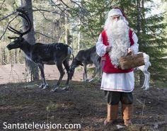 Santa Claus feeding his reindeer in Lapland in summer