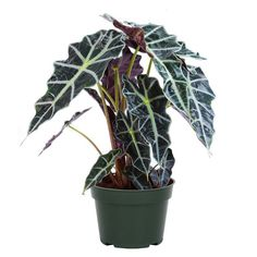 Outdoor Plants, Outdoor Gardens, Tamarindus Indica, Alocasia Plant, Elephant Ears, Plants Online, Foliage Plants, African Masks, Snake Plant