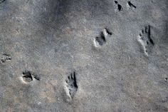 These footprints are found in the Permian age Coconoino sandstone near Utah's Hurricane Cliffs. Photo Copyright © Michael Collier.