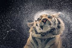 Tiger - Kanja - Tim Flach - Official Poster. Official Merchandise. Size: 61cm x 91.5cm. FREE SHIPPING