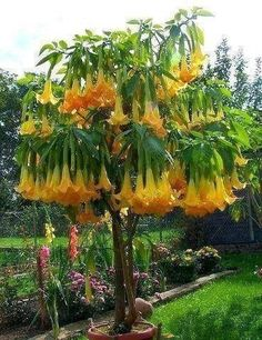 Brugmansia - Angel Flowers