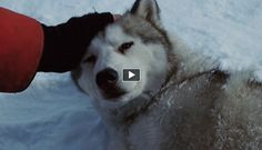 An touching christmas story about friendship between sled dogs and their owner. The images were taken from the movie 'Eight Below' and the sound of Enya's angelic voice completes this heart-warming video.