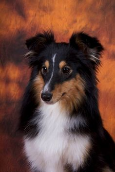 Tri color Shetland Sheepdog