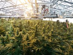 Aphria's Recent Approval, Open Registration, And Product Availability MMPR Medical Marijuana Canada