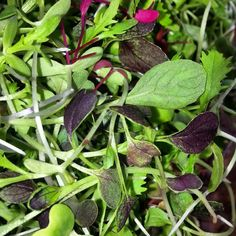 Quick mix I whipped up today. Always fun creating new blends. #microgreens #mix #colorful #beautiful #tasty #garnish #edibles #food #foodie #foodporn #aloha by ululoanursery