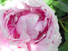 Peonies are a beautiful perennial flower!