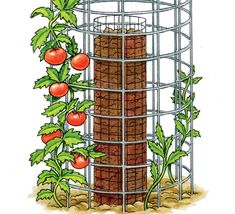 tomato plants in cage
