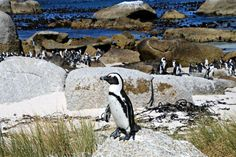 Kapstadt (Südafrika): Ausflug zu den Pinguinen - Reiseblog Travel on ToastReiseblog Travel on Toast