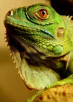 Iguana hopefully my next pet <3