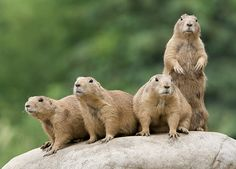 Prairie dogs are quite the conversationalists! Discover the hidden language of these grassland grammarians