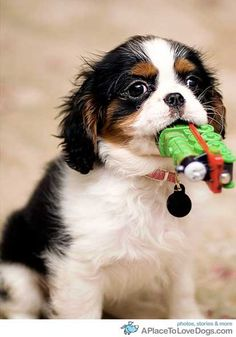 Cavalier King Charles Spaniel Tri Coloured Pup Pup with Thomas the Tank in his mouthsue! Puppies And Kitties, Cute Puppies, Cute Dogs, Doggies, Cavalier King Charles Spaniel, King Charles Puppy, Spaniel Dog, Springer Spaniel, Cutest Dog Ever